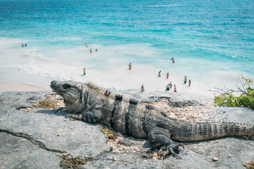 iguana en la playa de tulum