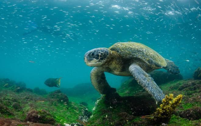 tortugas marinas en galapagos